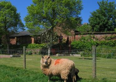 Sheep at The Coach House Farm