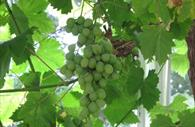University of Exeter Garden: grapes