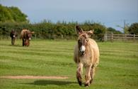 Poitou donkey bounds over to meet visitors at The Donkey Sanctuary