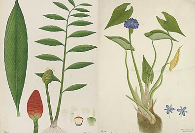 Flower Power: Botanical illustrations from India